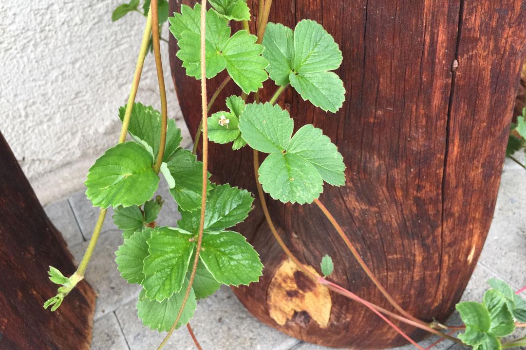 Starke Ausläufer einer gesunden Erdbeerenpflanze.