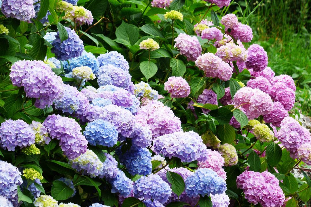 Farbenfrohes Blütenmeer von Hortensien