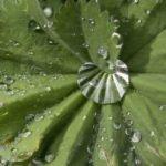 dem Frauenmantel bildet, konnte man sich ankündigenden Regen erkennen.