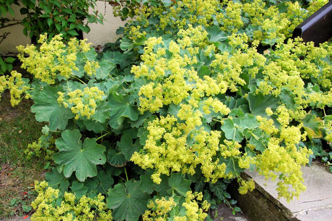 Die Pflanze treibt in Form einer Staude 10-50 cm lange, teils behaarte und verzweigte Blühtriebe aus.