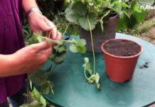 Wie Sie Erdbeeren in fünf Schritten selber vermehren.