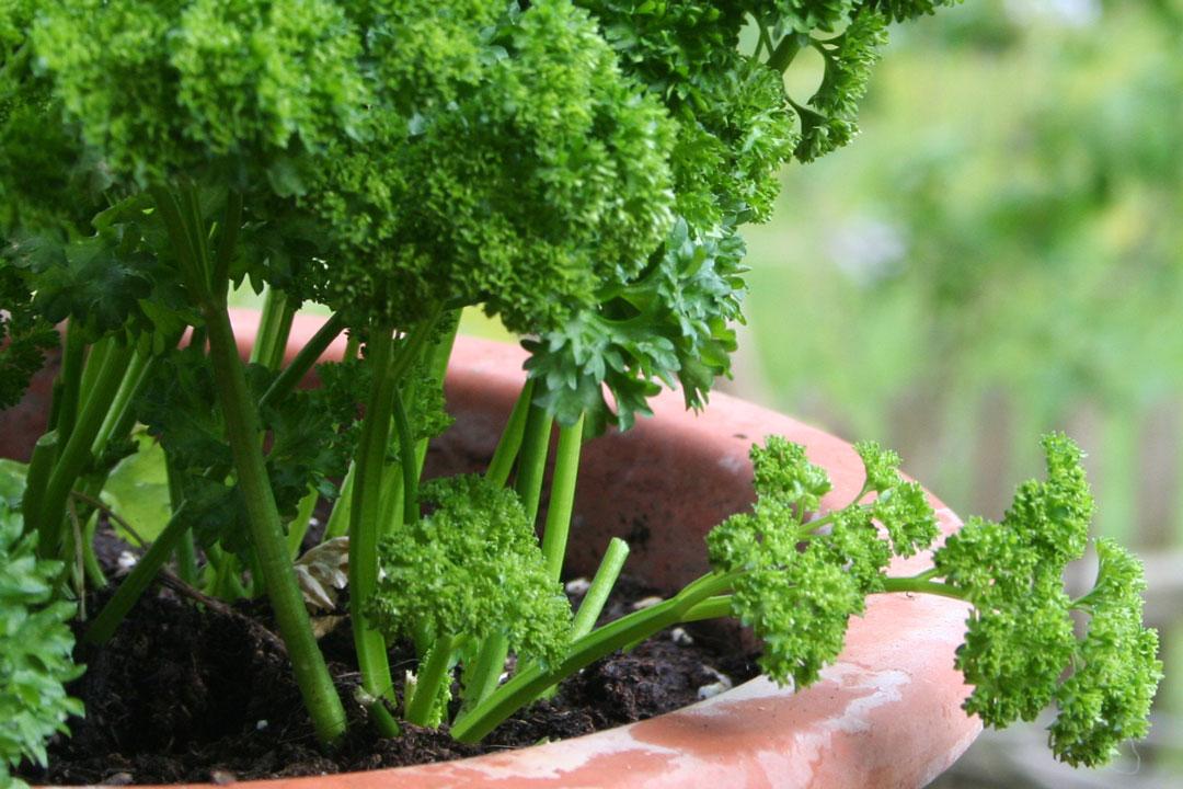 Gekrauste Petersilie in einem Topf im Garten