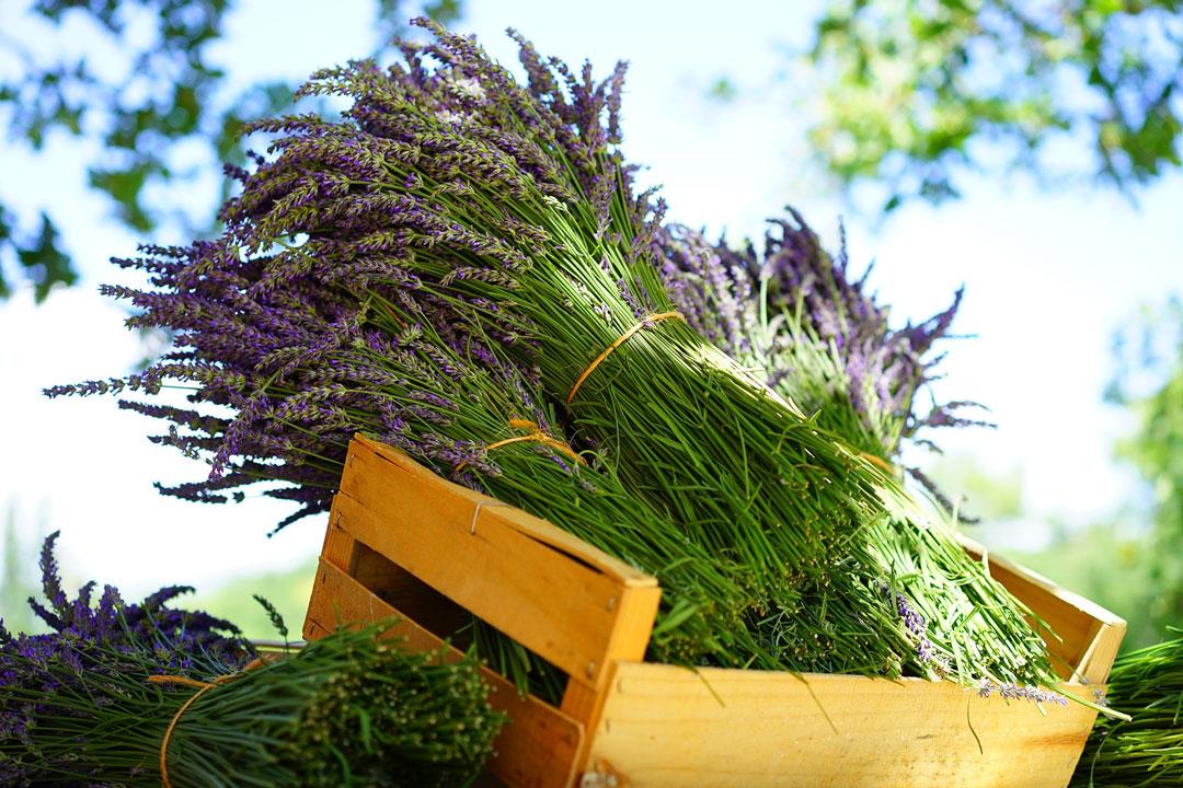 Lavendel-Bündel in einer Holzkiste