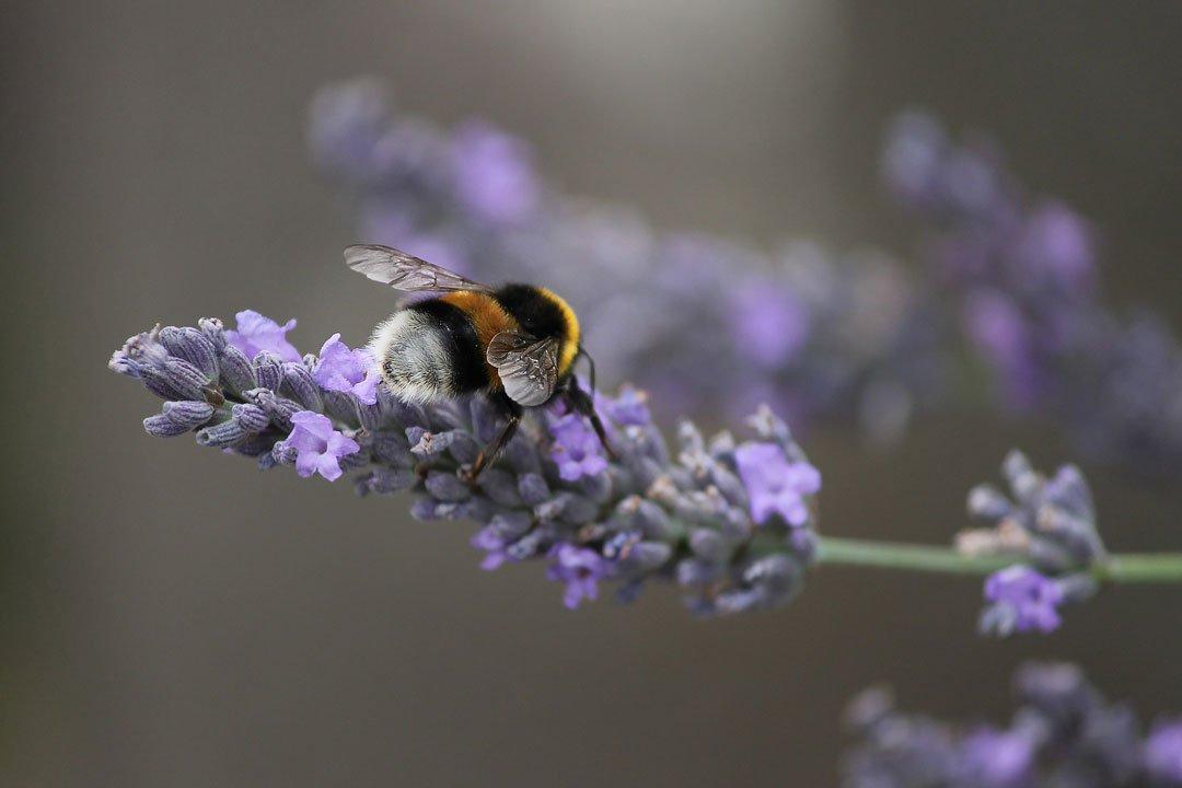 Lavendelblüte mit Biene