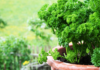 Petersilie in einem Tontopf im Garten