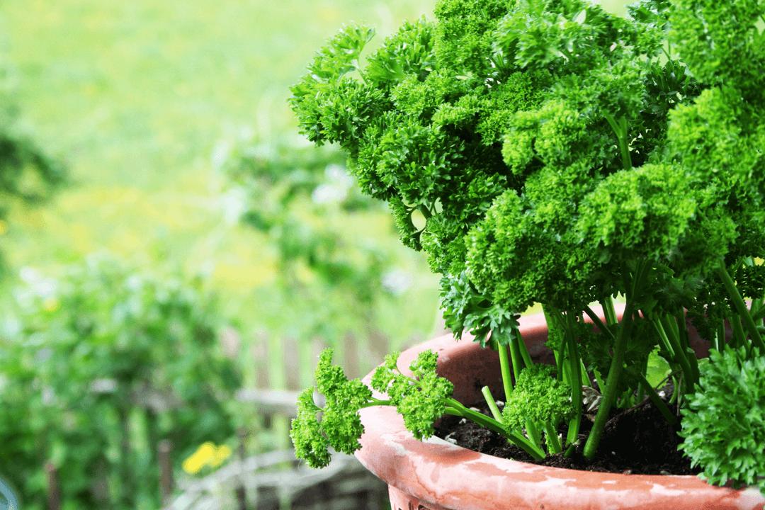 petersilie richtig anbauen pflegen ernten und frischhalten