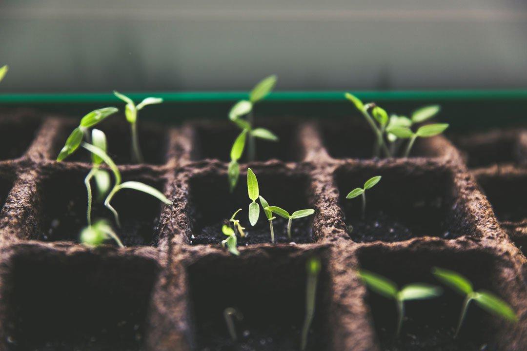 Junge Pflanzen in einem Setzkasten