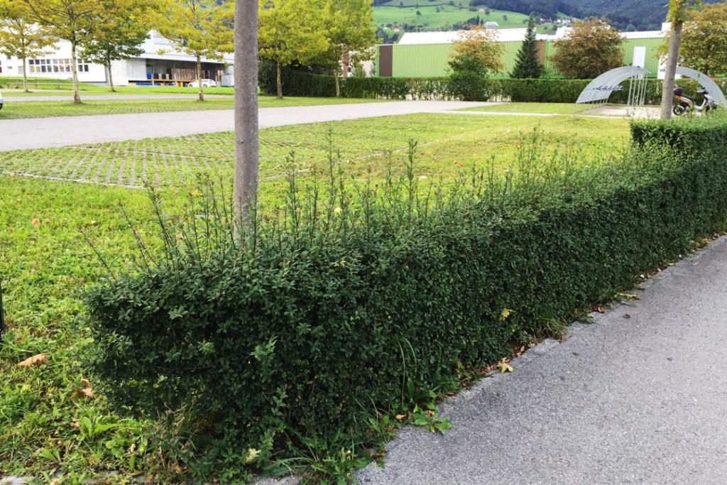 Eine Buchsbaum-Hecke vor dem zurückschneiden.