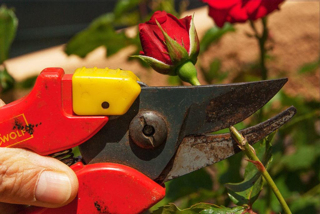 Rose wird mit einer Gartenschere geschnitten