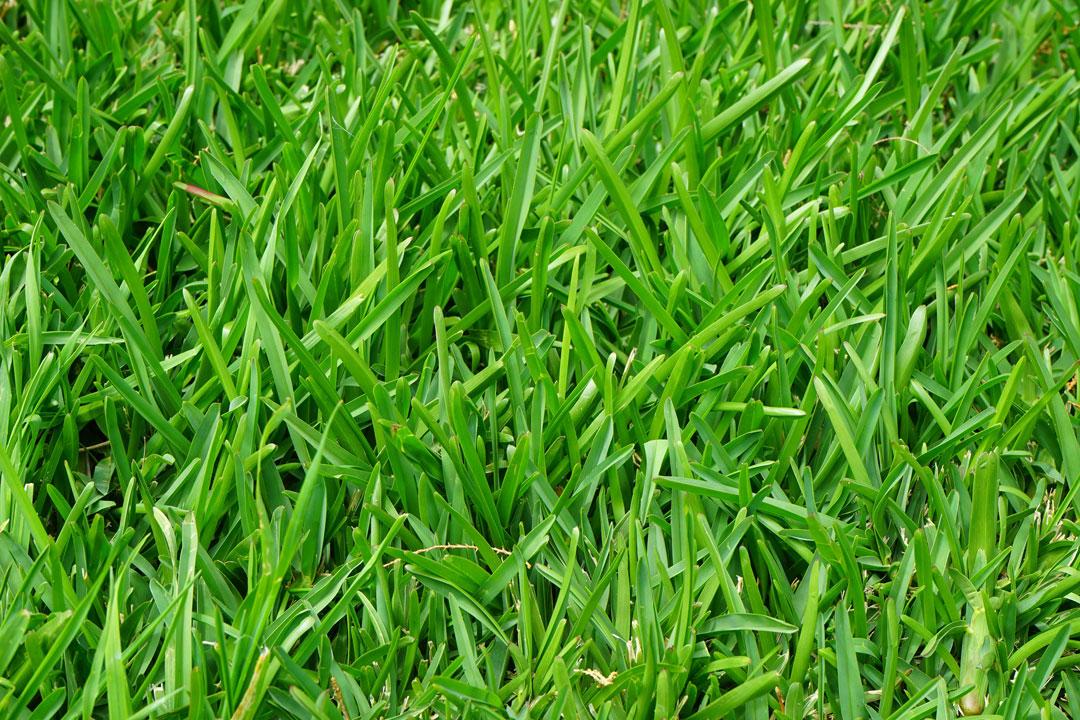 Kräftiger Rasenteppich nach Rasen-Renovation und Düngung