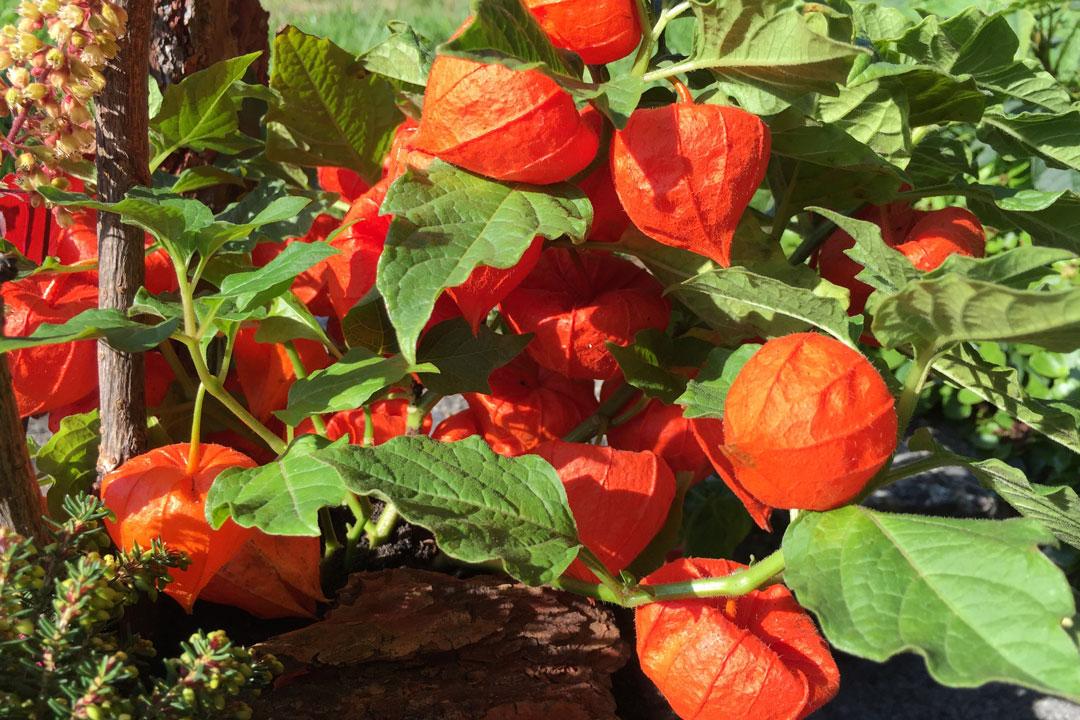 Lampionblume für die Pflanzschale