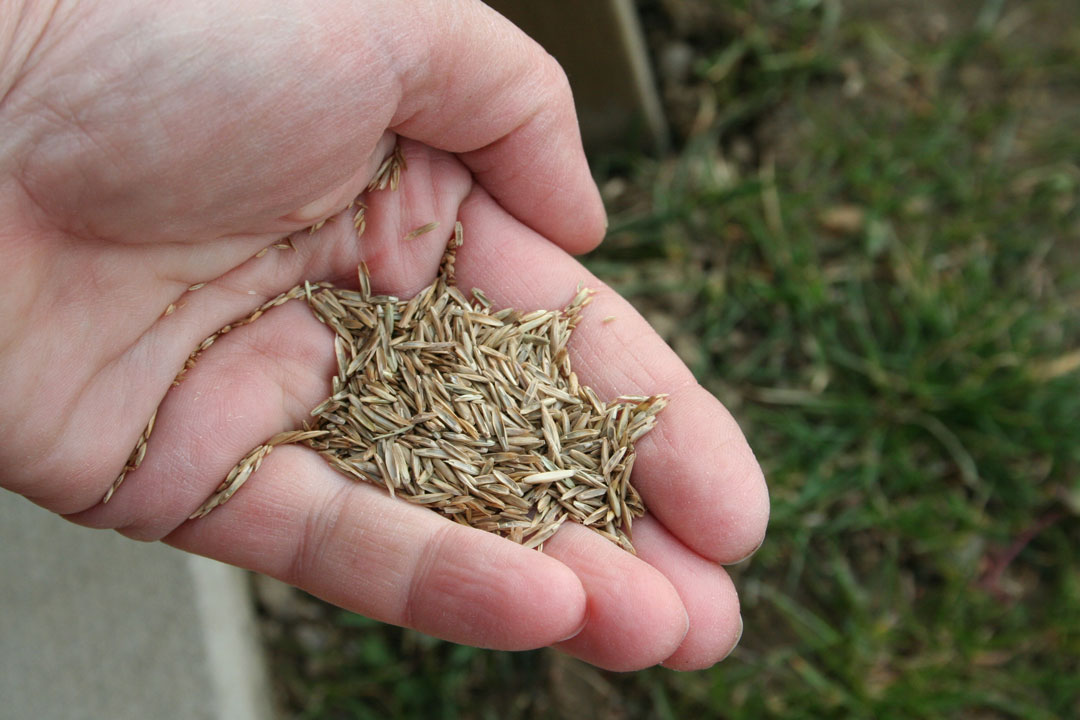 Eine Handvoll Rasen-Samen für die Rasen-Renovation