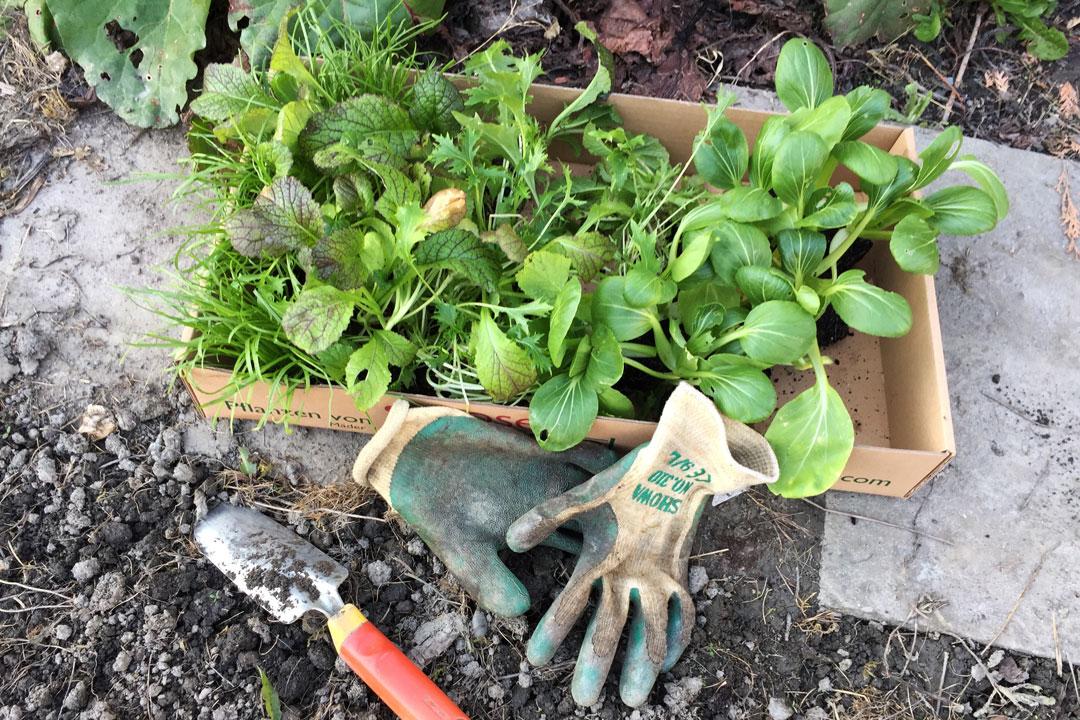 Vor dem Pflanzen wird das Beet für die Asia-Salate-Setzling gut vorbereitet.