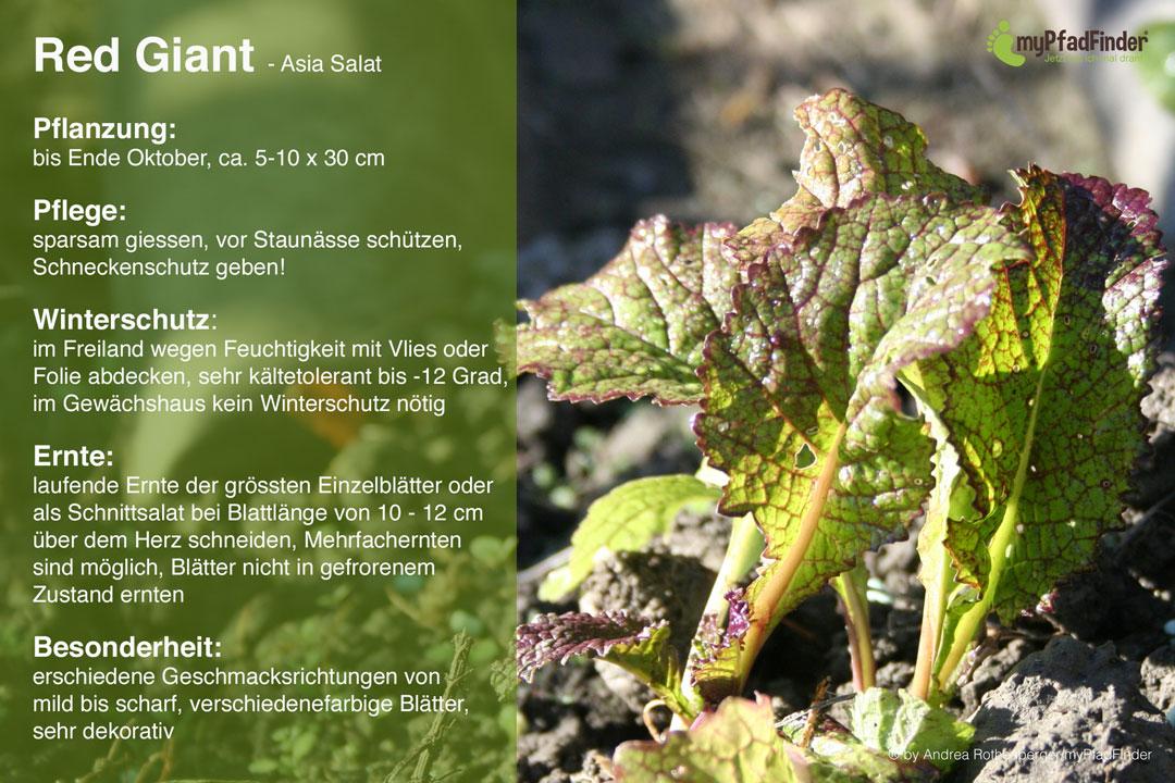 Pflanzanleitung für Red Giant - Asia Salat