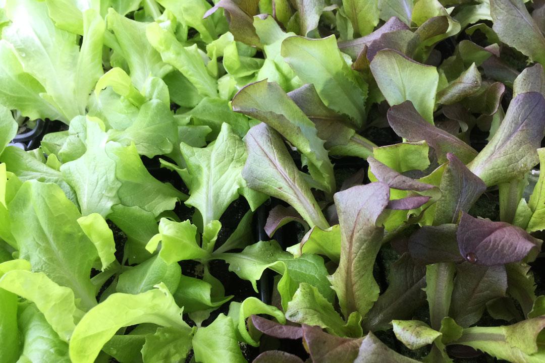 Der Eichblatt-Salatist ein zarter Salat und ganzjährig in der Gemüseabteilung erhältlich.