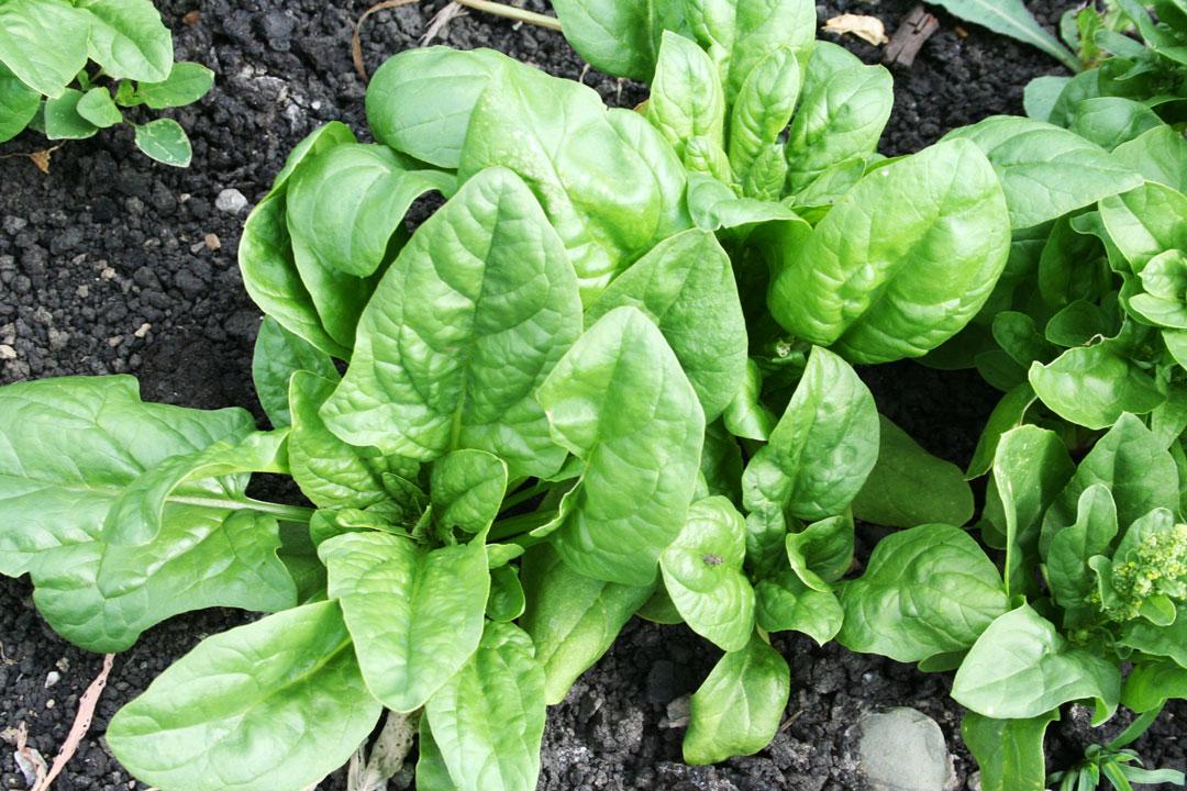 Spinat ist ein Klassiker unter den Wintersalaten sowie Gemüse und kann gut als Nachkultur oder als Gründüngung gesät werden.