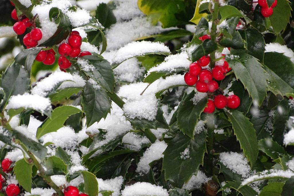 In der Weihnachtszeit gehören Ilex und Weihnachtsbäume im Topf inzwischen zu den beliebtesten Grünpflanzen.
