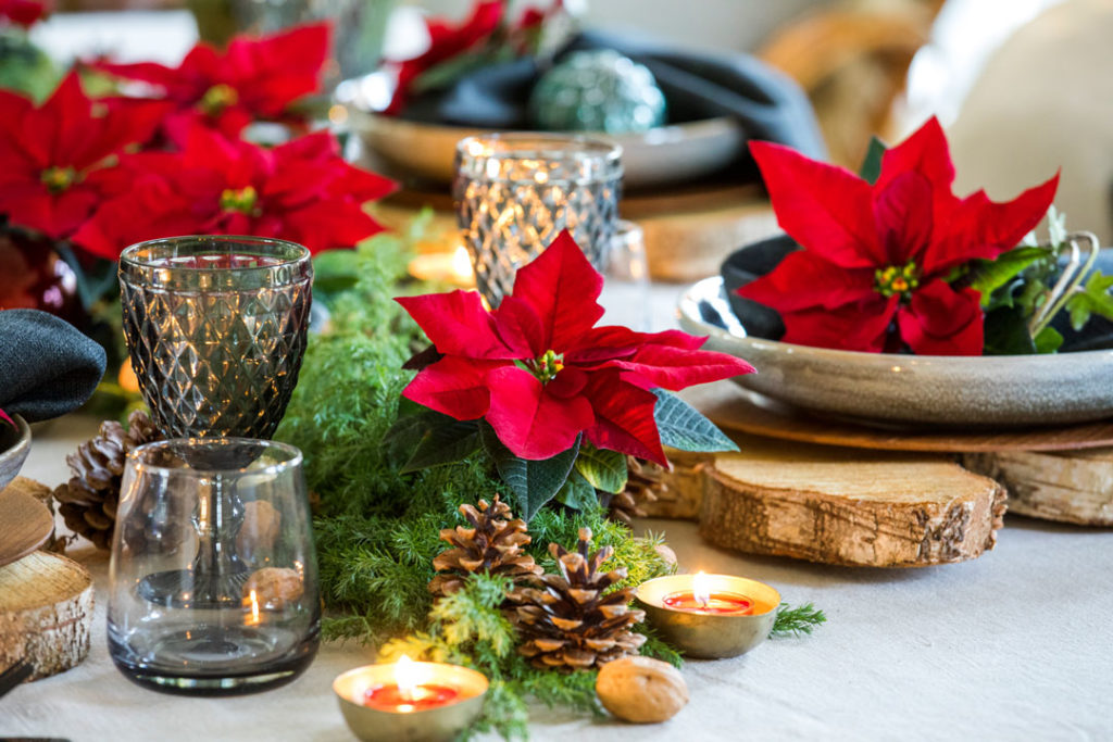 Mit ihren sternförmigen, leuchtend roten Hochblättern eignen sich Poinsettien perfekt als Weihnachtsdeko.