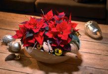 Auch als festliche Tischdekoration eignet sich der Weihnachtsstern im klassischen Rot perfekt.