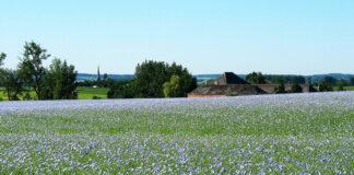 Leinenfeld (Linum usitatissimum) im Frühjahr.