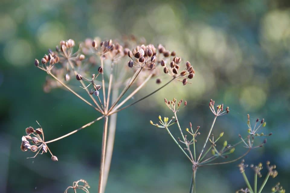 Dillsamen gelten traditionell als Kinderschlafmittel. Das ätherische Öl in den Samen wirkt beruhigend.
