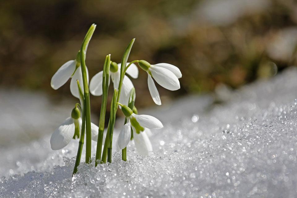 Die Schneeglöckchen sind die ersten Frühlingsboten im Garten.