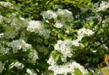 Der Weißdorn in voller Blüte.