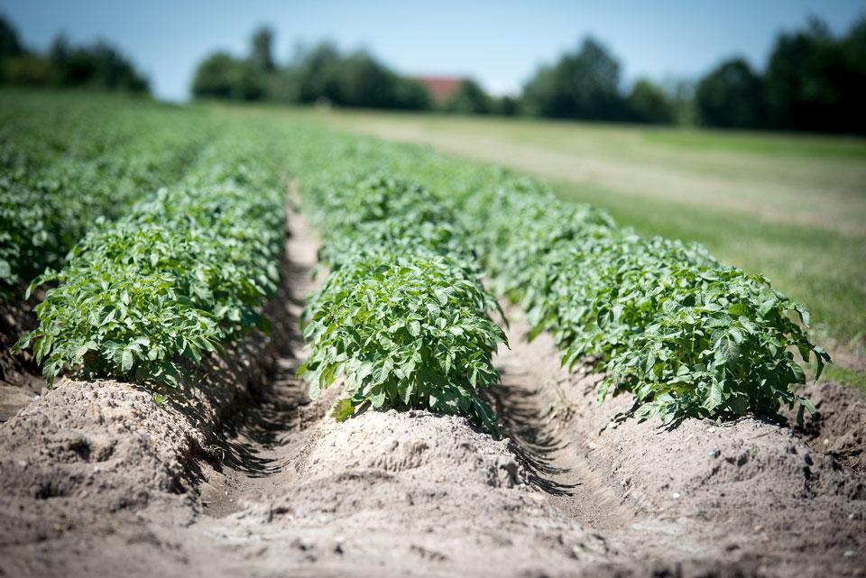 Kartoffelfeld mit Mutterkartoffeln