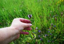 Auf einer grünen Wiese selber Heilpflanzen sammeln