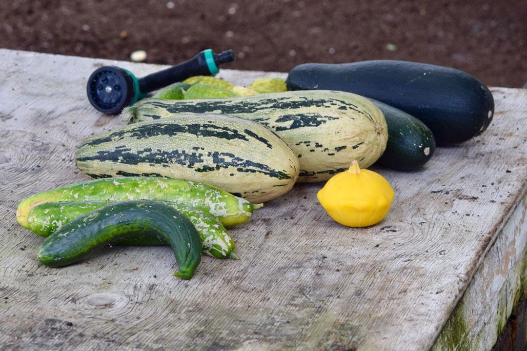 Zuccini-Aufzucht und Pflege im Garten
