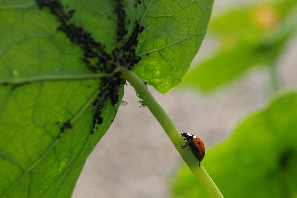 Blattläuse und Marienkäfer als Schädlinge und Nutzniesser an der Kapuzinerkresse