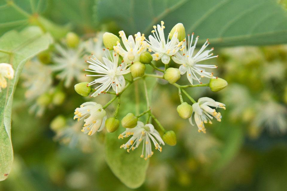 Ganze Blütenstände von einer Linde