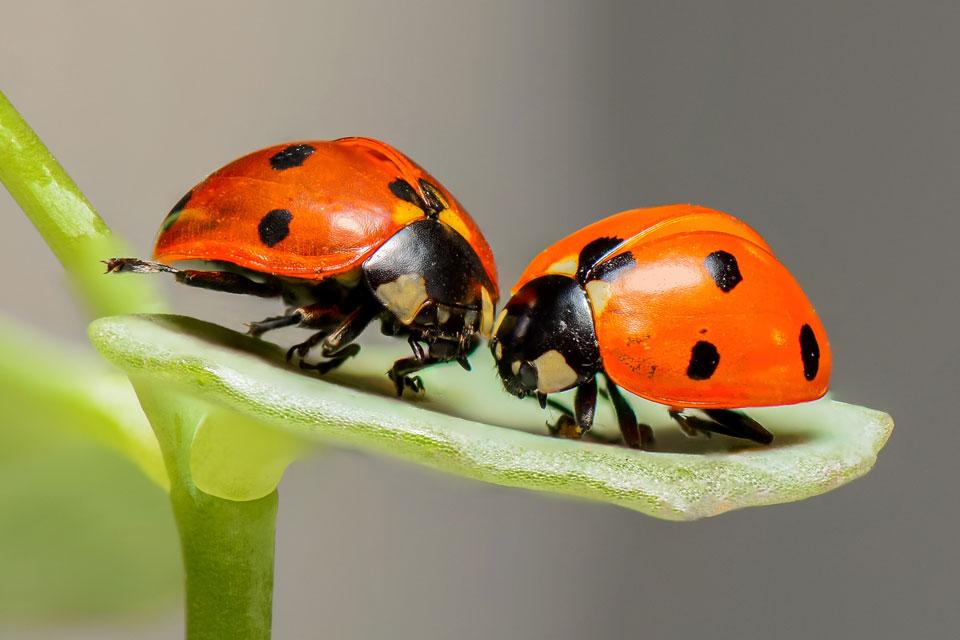 Zwei Marienkäfer als Nützlinge im Garten