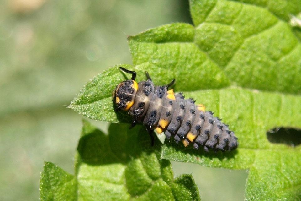 Eine Marienkäfer-Larve als Nützling auf einem Pflanzenblatt