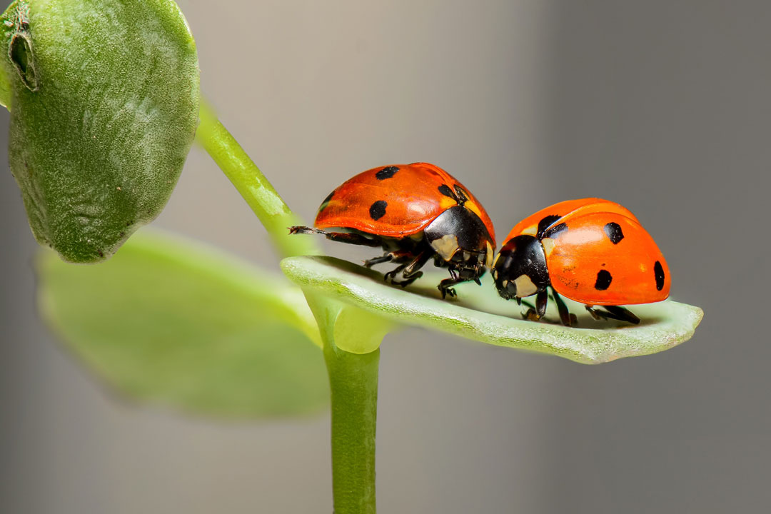Zwei Maienkäfer als Nützlinge - die Gegenspieler der Schädlinge - auf einem Pflanzenblatt