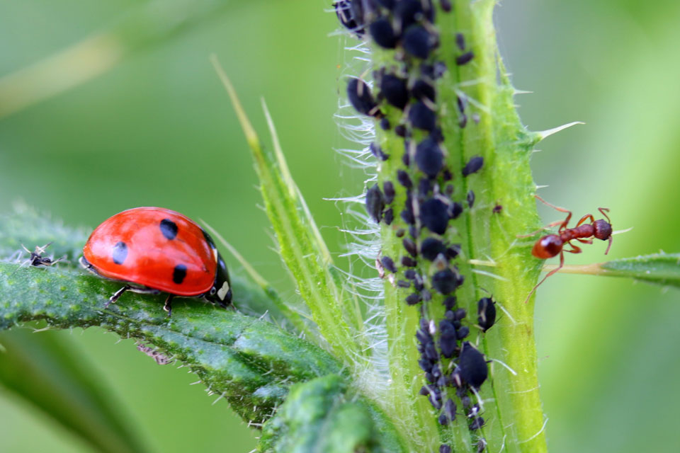 """Blattlauskolonie auf einer Pflanze wird von einer Ameise """"gemolken""""."""