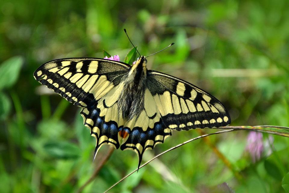 Ein prächtiger Schwalbenschwanz-Schmetterling ist unterwegs im Garten.