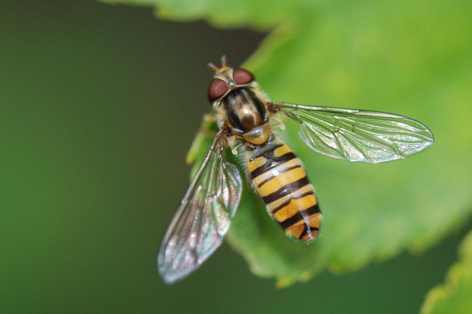 Die Schwebefliege, die oft mit der Wespe verwechselt wird, auf einem Blatt im Garten