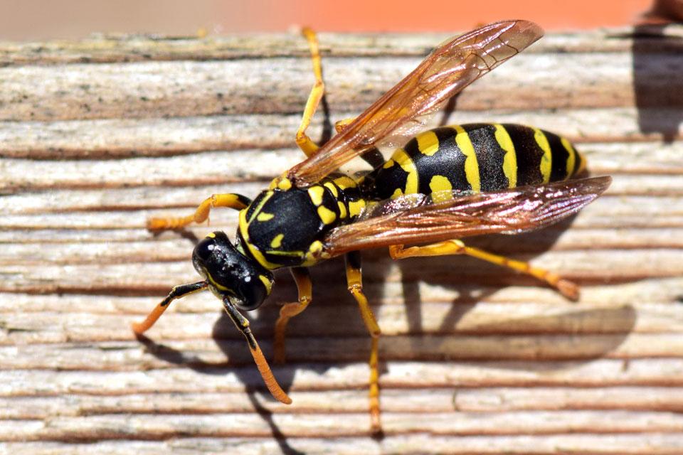 Eine Wespe auf einem Holzbrrett im Garten
