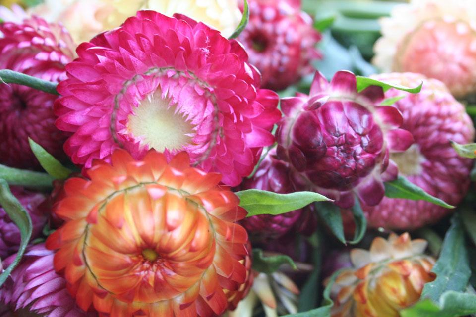 Verschiedene Strohblumen mit unterschiedlichen Blühstadium.