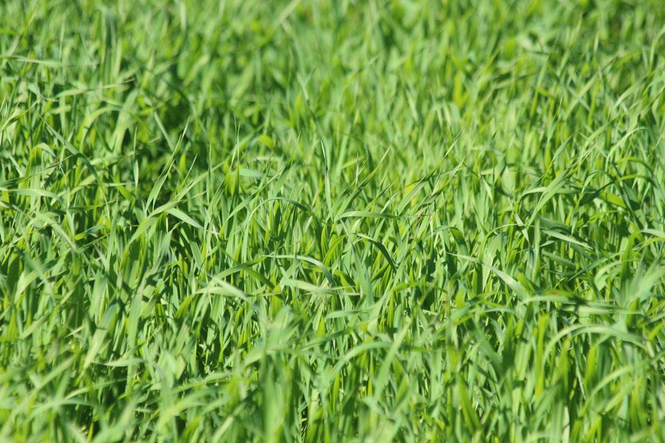 Ein Feld mit Haferkraut bzw. Grüner Hafer