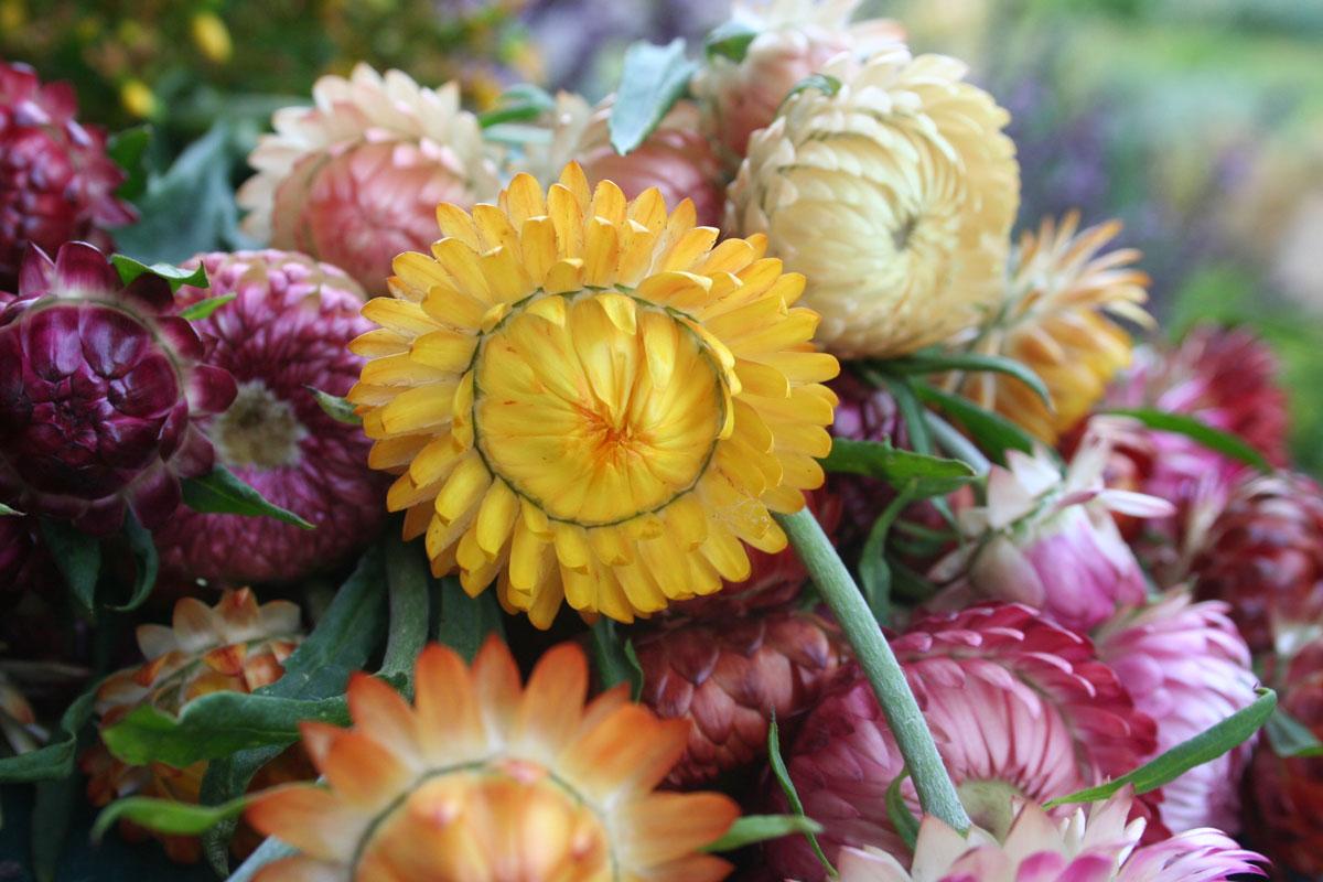 Verschieden farbige Strogblumen als Trockemblumen