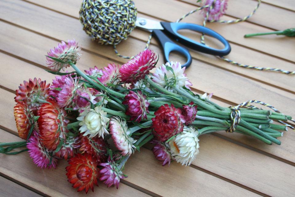 Ein fertig gebundener Strohblumenstrauß ist bereit zum Trocknen.