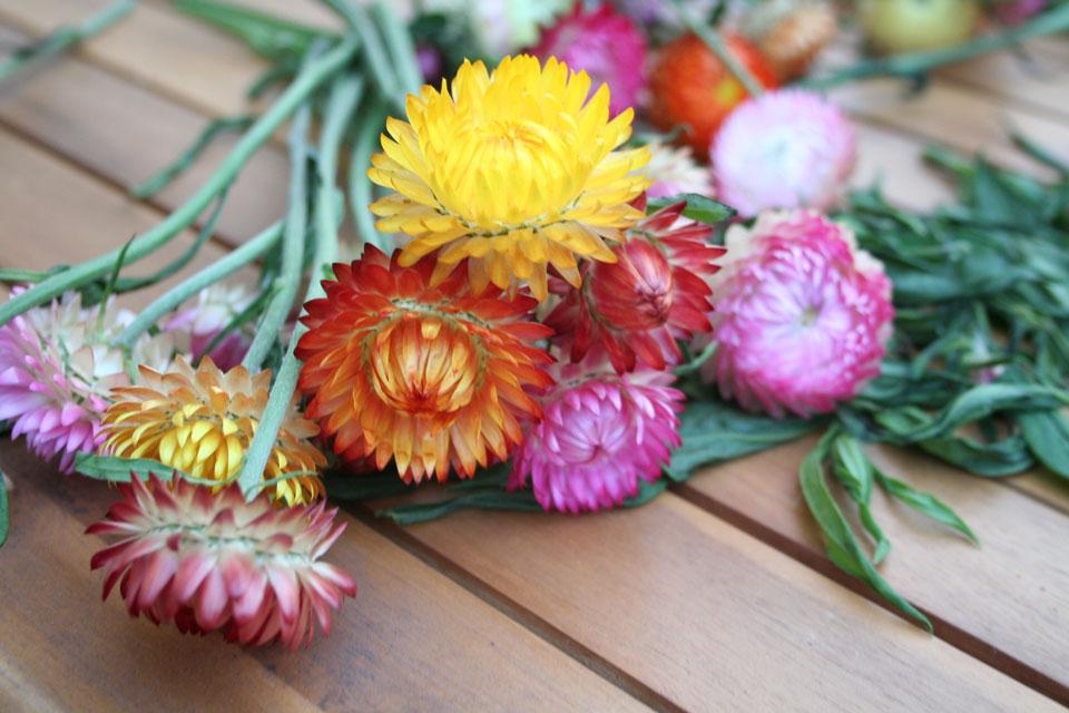 Verschiedene Strohblumen vor dem Binden zu einem Straß