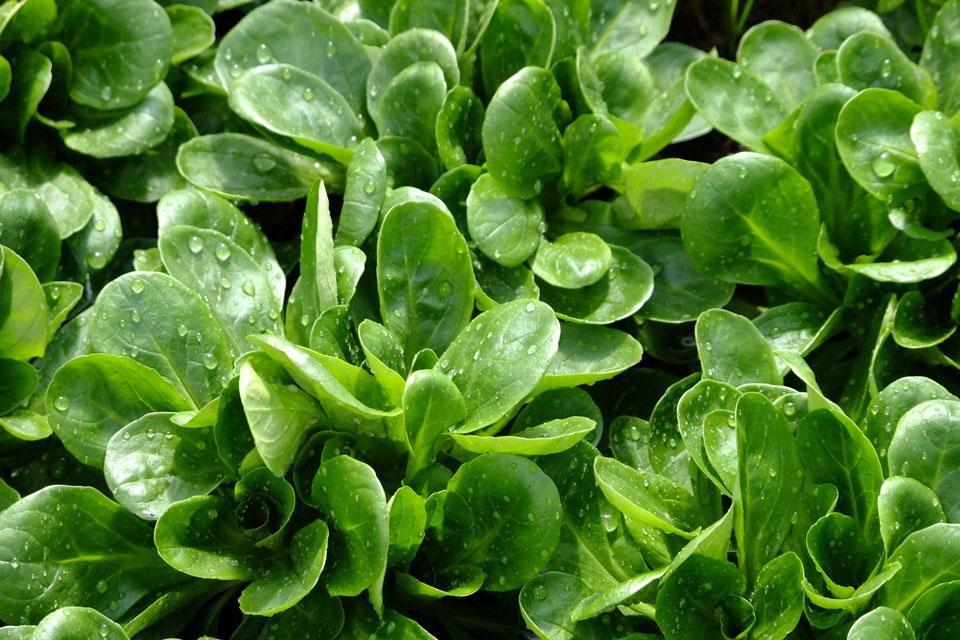 Feldsalat als Gründdüngung für die Gartenarbeiten