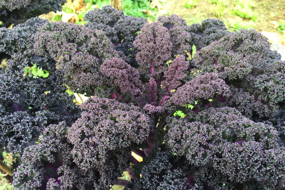 Violetter Federkohl im Gartenbeet