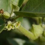 Ashwagandha Blüte am Strauch