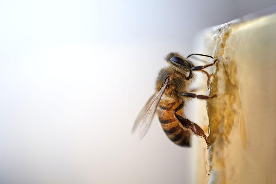 Eine Biene am Bienenstock