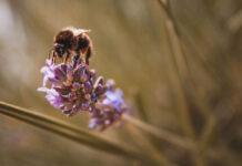 Eine Biene bestäubt eine Pflante