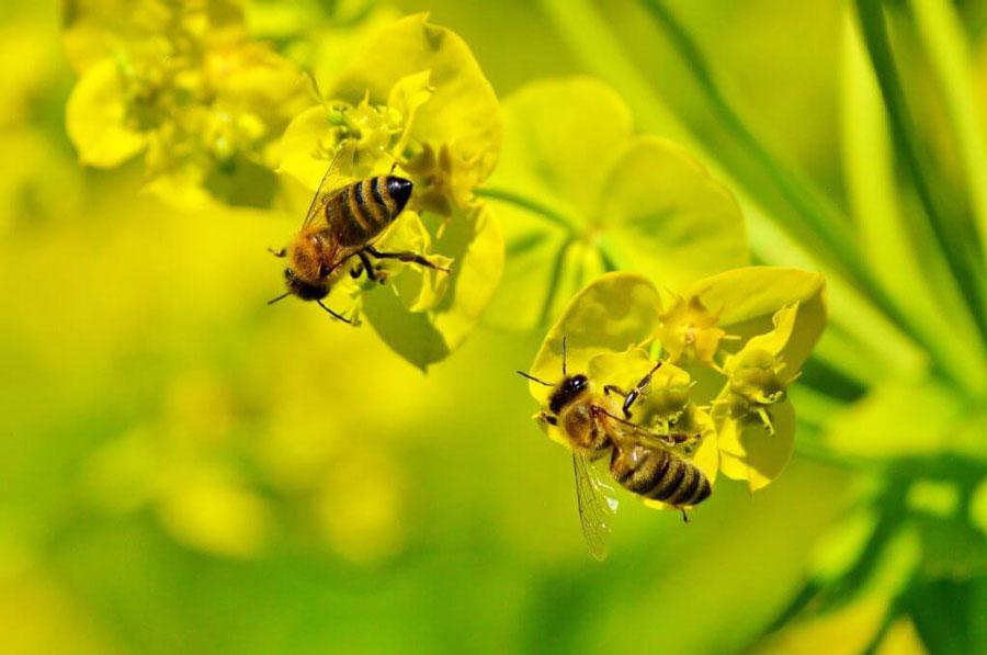 Bienen bei der Bestäubung